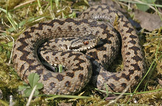 http://snakes-info.ucoz.net/Viperaberus_virsus.jpg